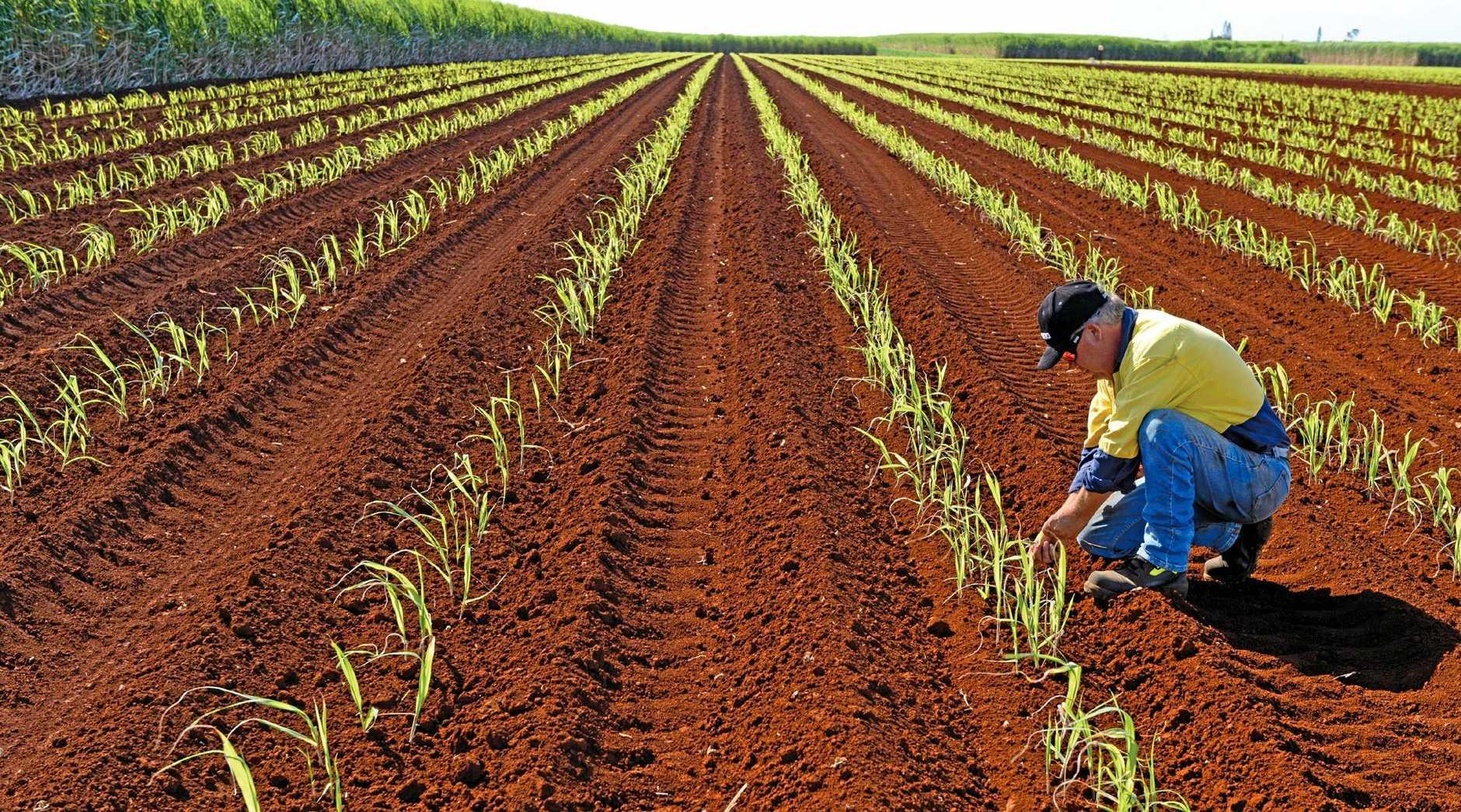 Sugar cane field in the Wide Bay Burnett.