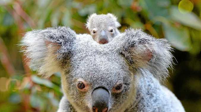 NEW BUB: Baby Macadamia is the first of twelve koala joeys born this season at Australia Zoo.