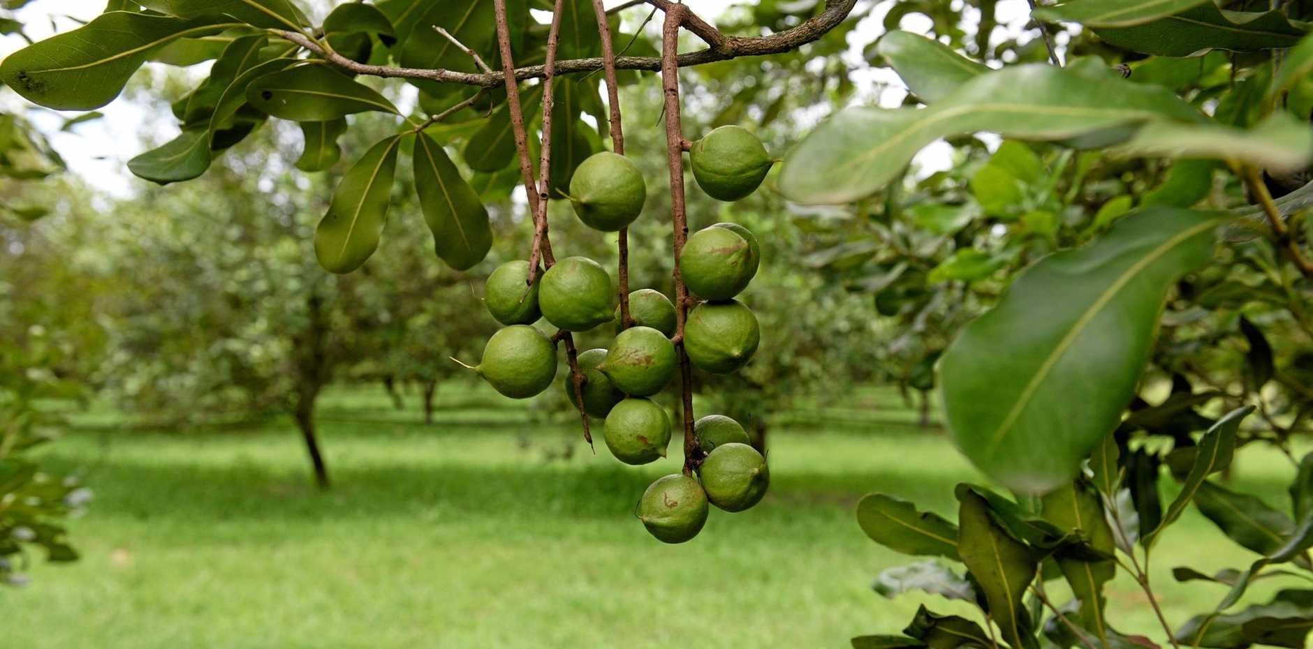 INNAUGURAL EVENT: The first ever national macadamia nursery event is being held in Bundaberg today.