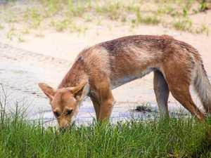 CONCERN: Easter fears for Fraser Island's dingoes
