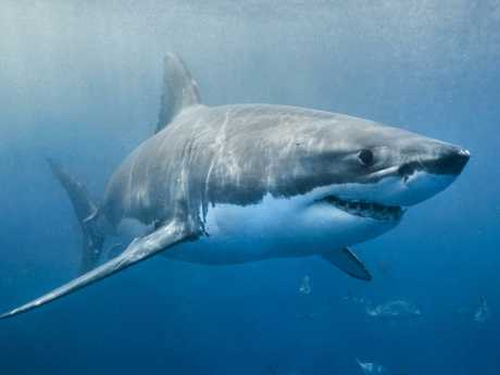 There  has been a large number of shark attacks in Australia in recent years.