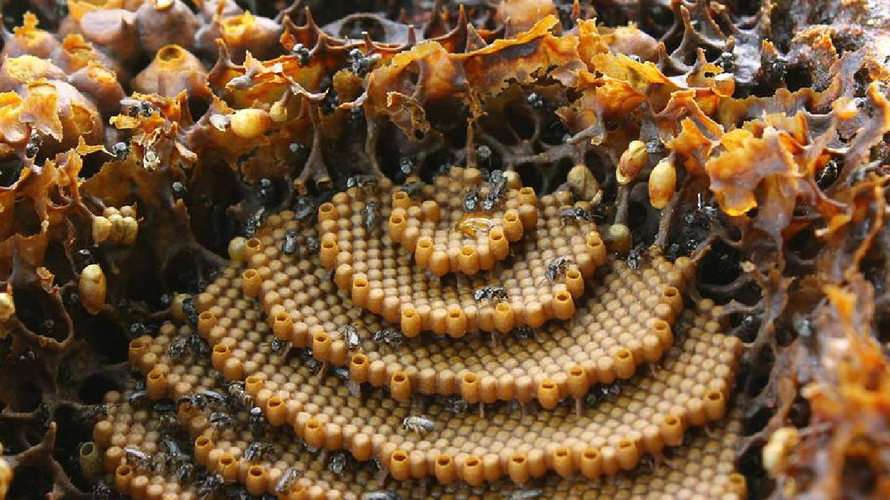 Stingless native bees. Picture: Tim Heard, sugarbagbees.com.au