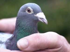 Chinese millionaires buy pigeon for $2m