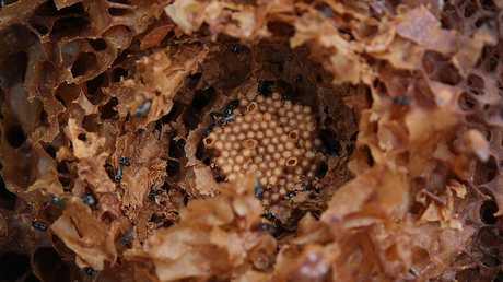 Native bees. (AAP IMAGE/ Danny Aarons)