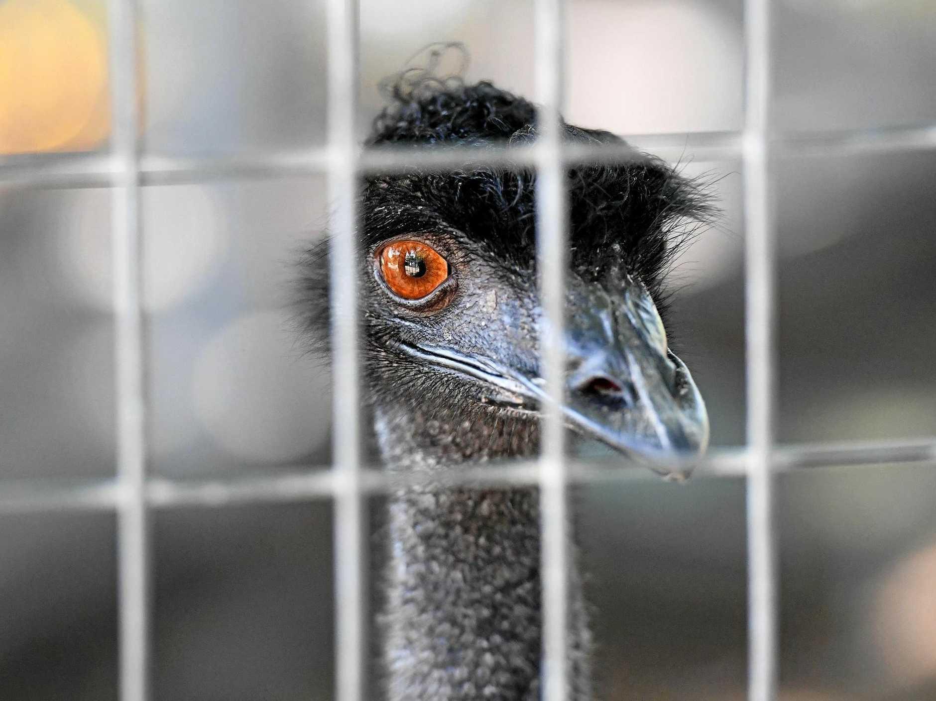 An Emu in the Alexandra Park Zoo.