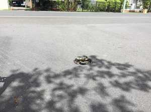 Shell-shocked: Feisty crab nips out for main street stroll