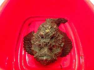 Deadly stonefish claims another Coast victim