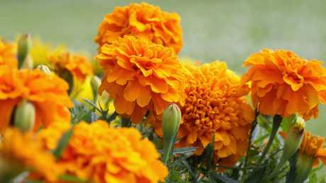 Marigolds can actually deter mozzies.