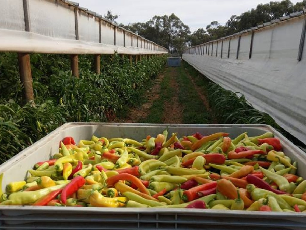 Chilli picking in Mildura.