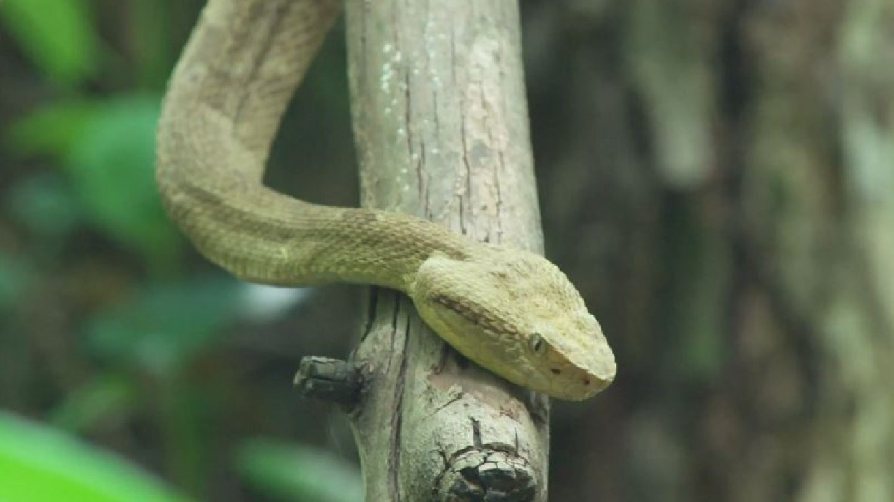 Up to 4000 golden lanceheads are believed to live on Snake Island. Picture: 60 Minutes