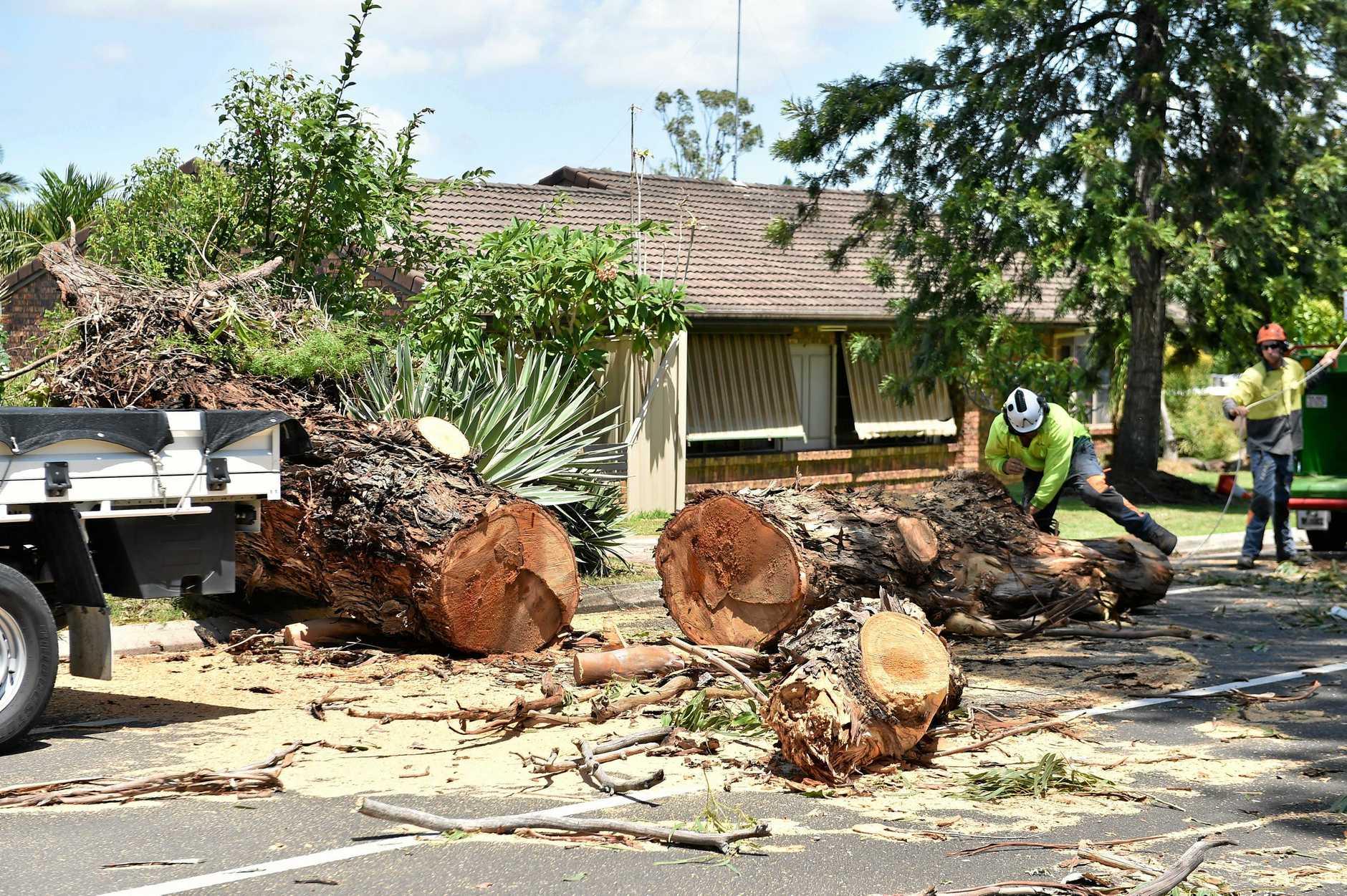 The large gum tree fell across Molakai Drive, Mountain Creek as Oma pushed toward the Sunshine Coast.