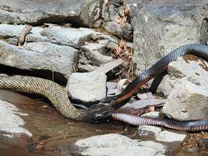 Granite Belt postie's snake fight vid goes viral