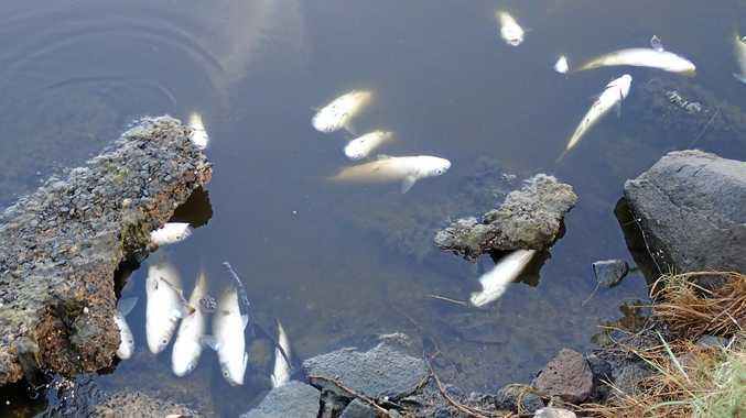 Moneys Creek fish kill this morning
