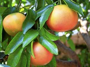 Get a new grapefruit tree in the ground in autumn