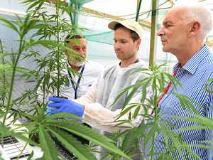 Medicinal cannabis company's roots run deep in Bundaberg