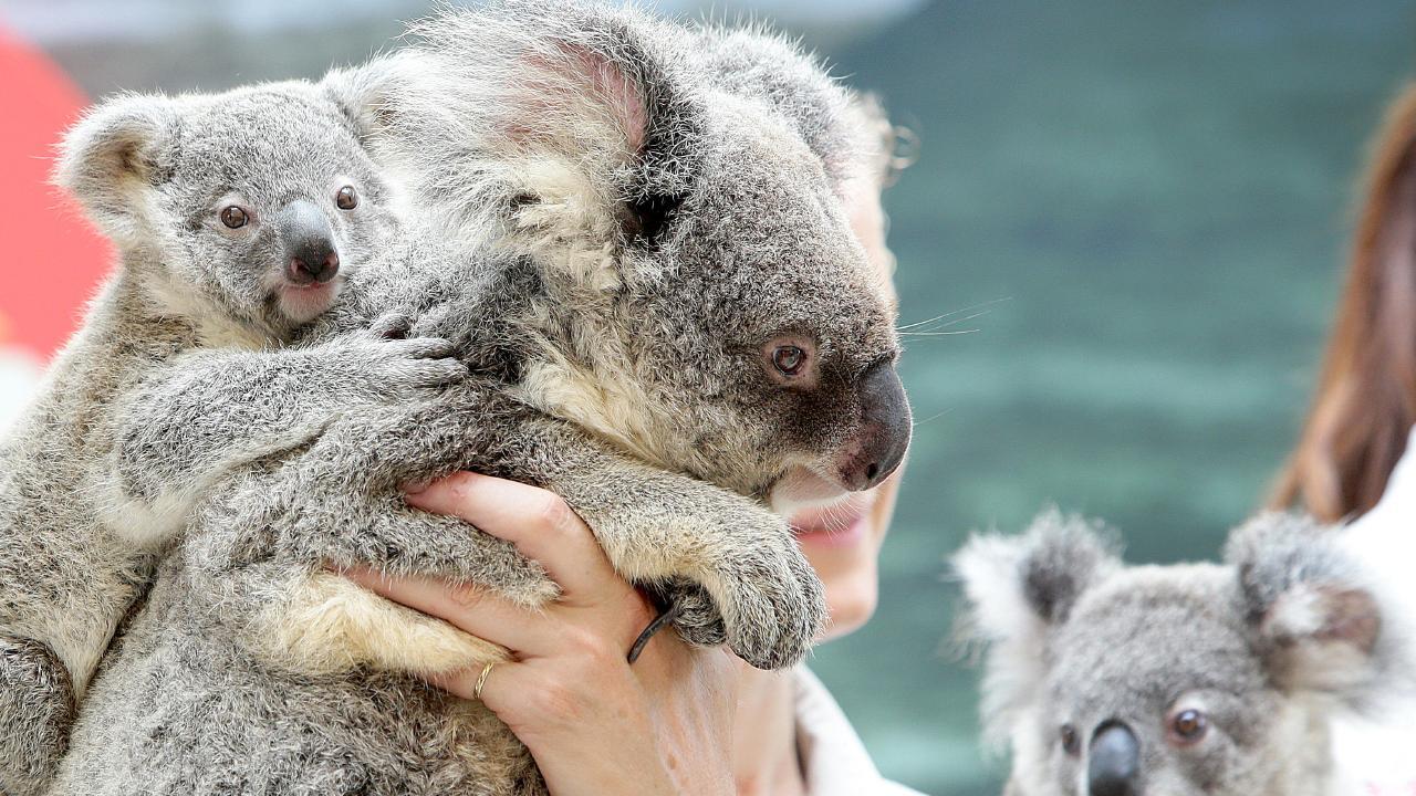 Baby Koalas at the Corroboree park at Dreamworld. Pic Jono Searle.