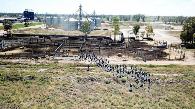 Over 100 animal activists invading Lemontree feedlot and dairy at Millmerran on Queensland's Darling Downs.