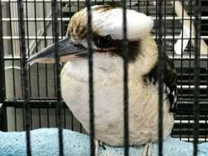 YOUR SAY: Readers want to bring home sad kookaburra in cage