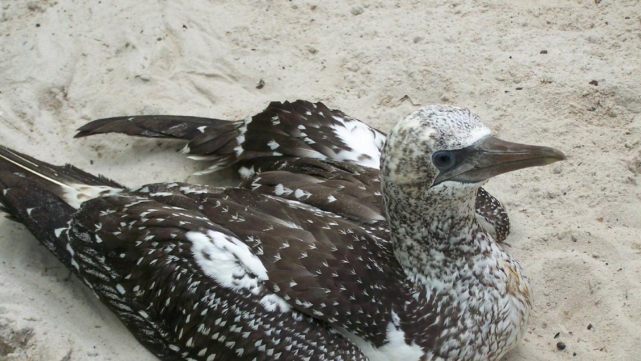 The juvenile Australasian gannet rescued from Dreamtime Beach at Fingal Head by Tweed Valley Wildlife Carers earlier this month.