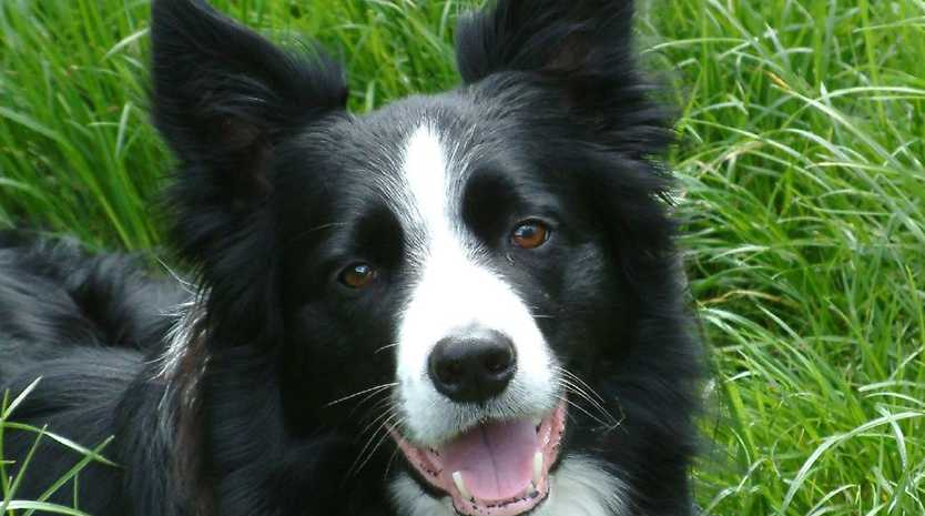 A petition is under way to save 10 border collies similar to this, amid fears the RSPCA will kill the animals.