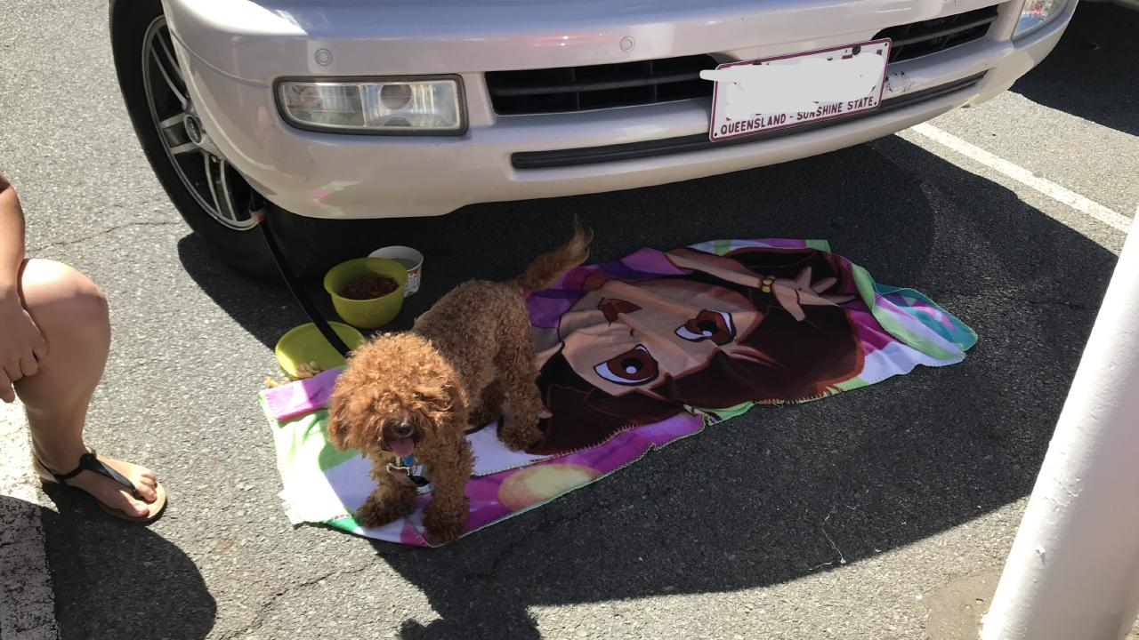 The poodle cross was left tied to a car in the Sea World car park.