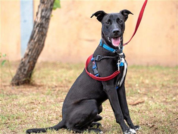 Chance is a one-year-old male Labrador retriever mix that is boisterous and loves to have fun. He would benefit from some further training. Adoption price is $320.
