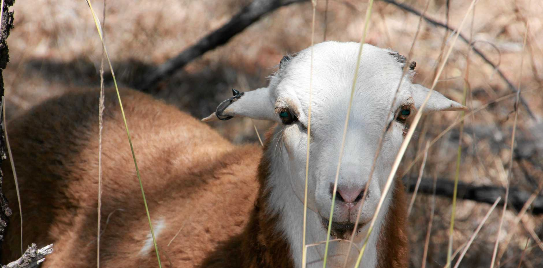 Lamb and wool producers have pegged their hopes on series of cluster fence to stop wild dog attacks.