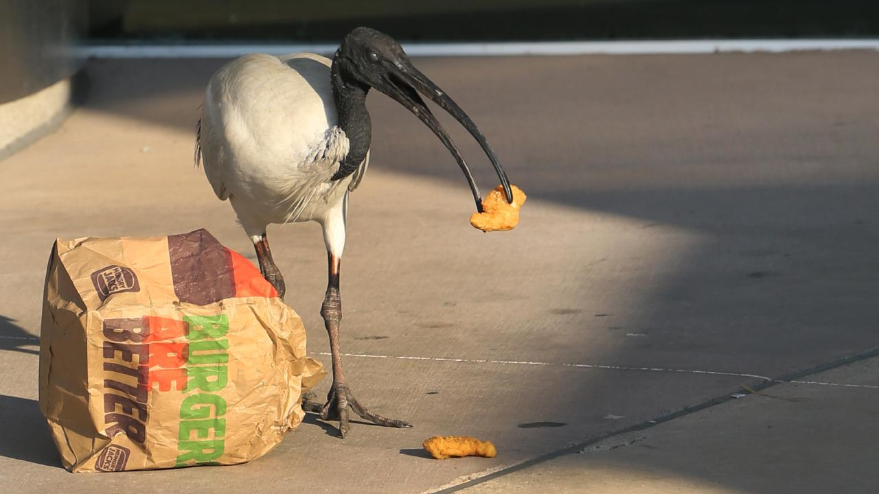 Ibis. Picture Glenn Hampson