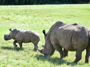 Australia Zoo Baby Rhino Carrie