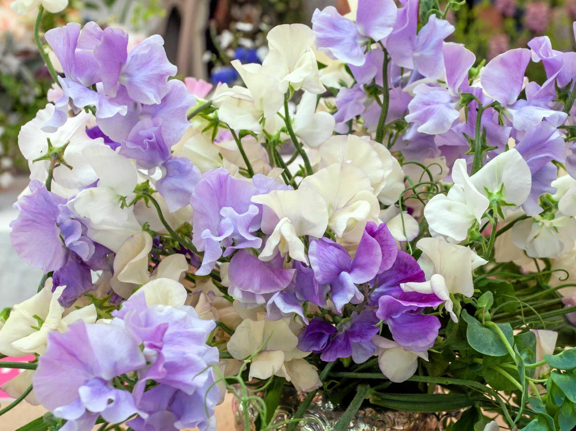 Sweet peas bloom prolifically and make a lovely cut flower.
