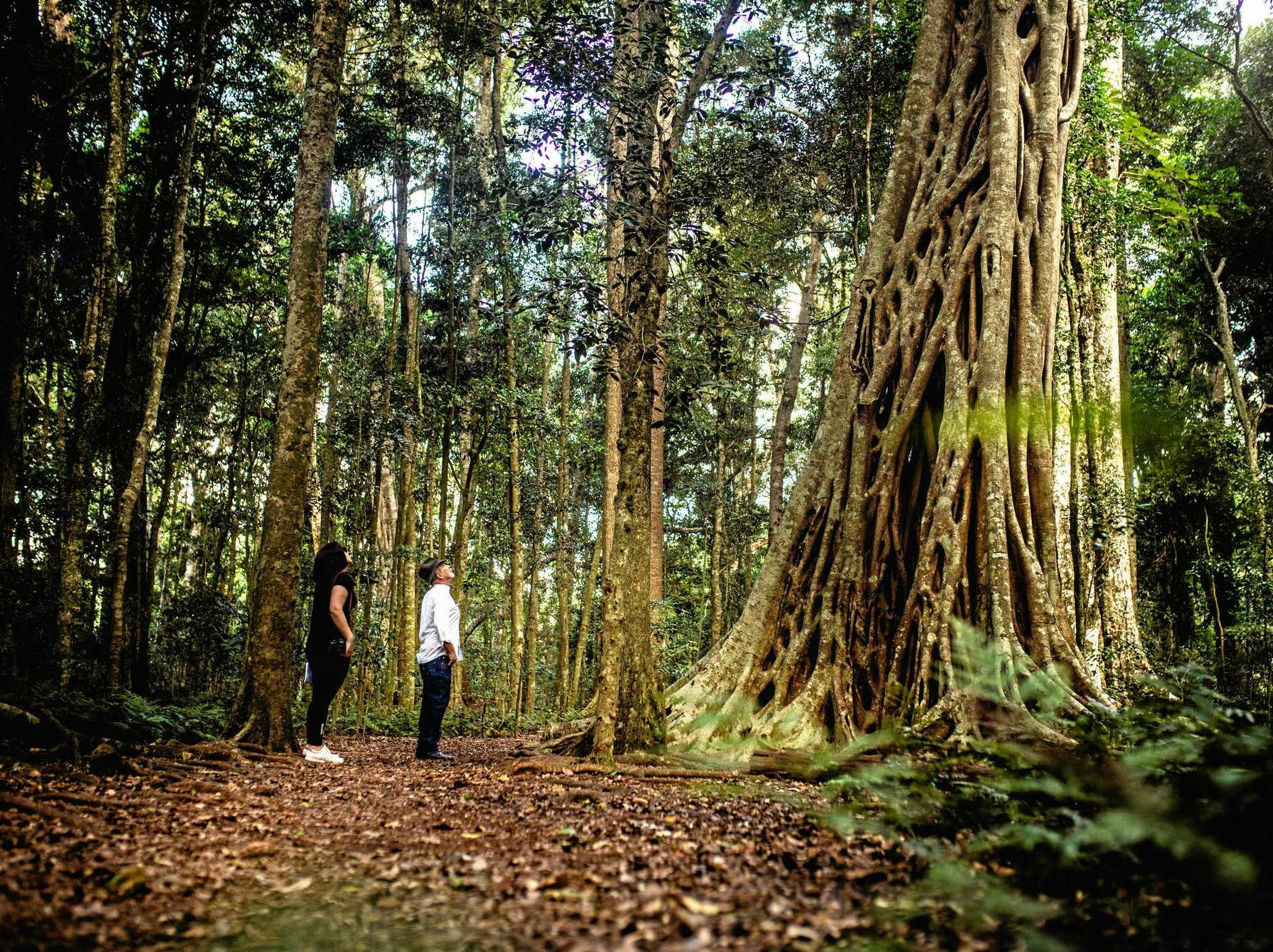 Bunya Mountains National Park covers an area of 19,493ha and has numerous walking tracks and hiking trails suitable for people with all levels of fitness.