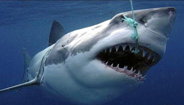 The LNP have accused the Labor of caring more about sharks than people.