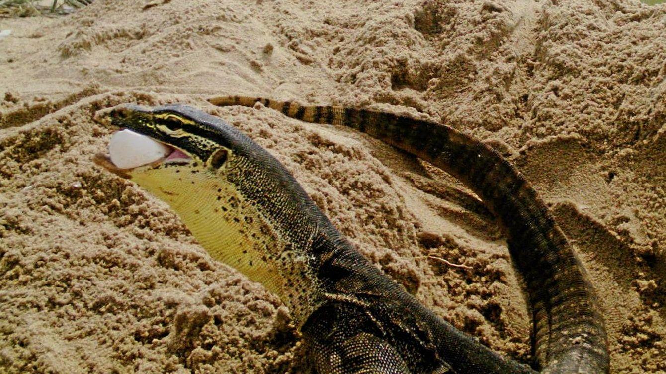 PREDATORS: A goanna caught on a sensor camera eating a loggerhead turtle egg at Wreck Rock beach, south of Agnes Waters.