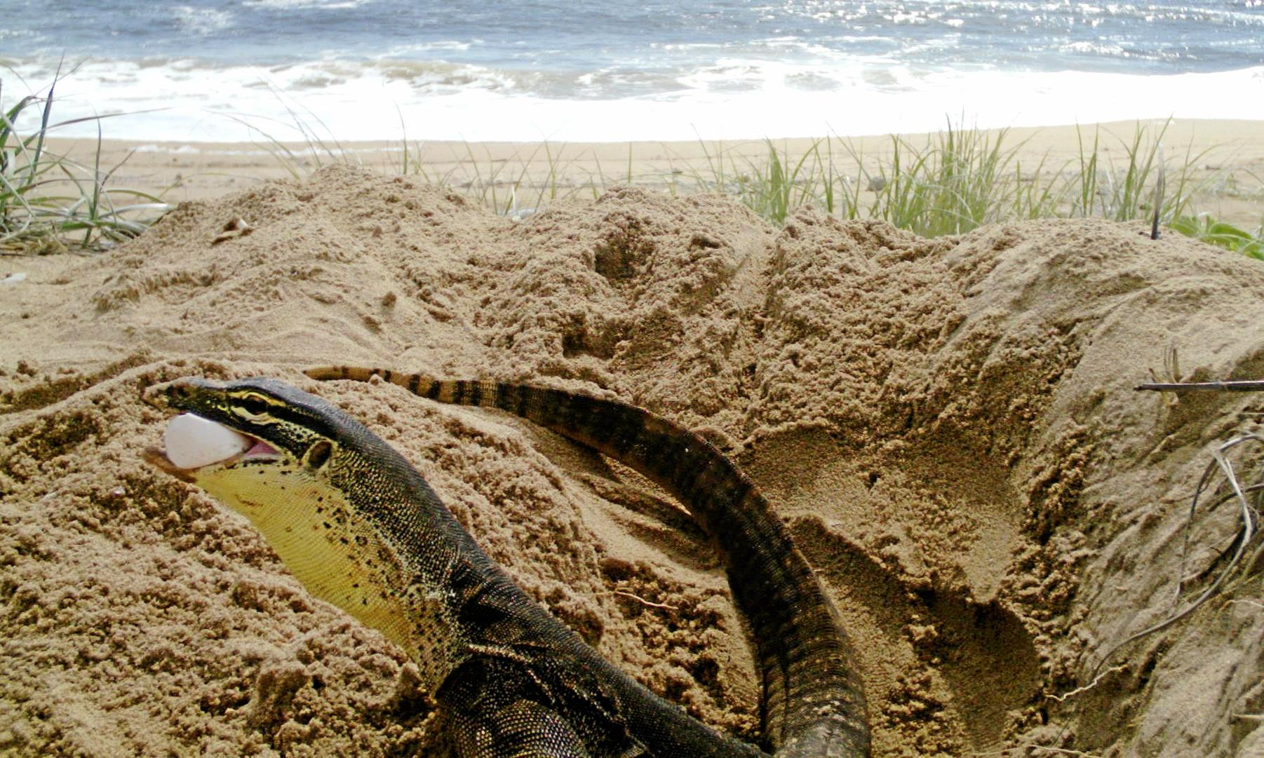 PREDATORS: A goanna caught on a sensor camera eating a loggerhead turtle egg at Wreck Rock beach, south of Agnes Waters.