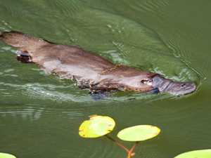 WATCH: Playful platypus in clear water at Broken River