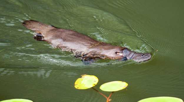 A platypus snapped at the Australian Platypus Park at Tarzali Lakes. Picture: SUPPLIED