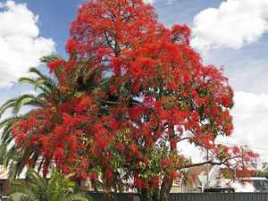 Should the flame tree become Lismore's signature tree?