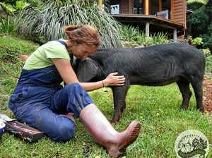 'HORRIFIC': Pig recovering from brutal injuries