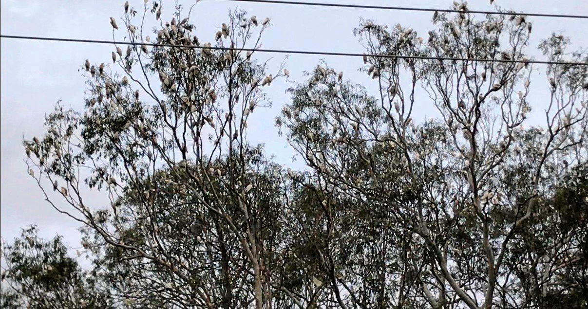 FLOCKING TO SEE: A huge flock of cockatoos has been observed along Somerset St in Kingaroy.