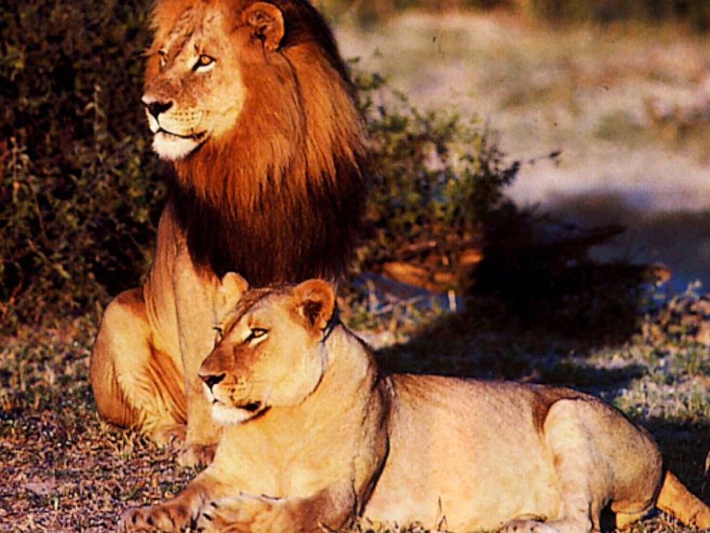 Lions pictured at Kruger National Park, South Africa's biggest reserve in the country. Picture: Supplied