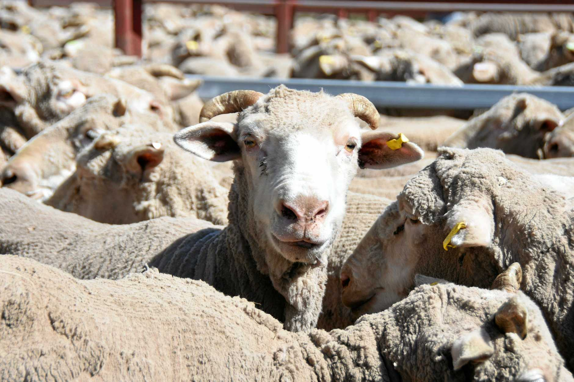 ABS statistics show cattle and sheep slaughters are much higher than last year.