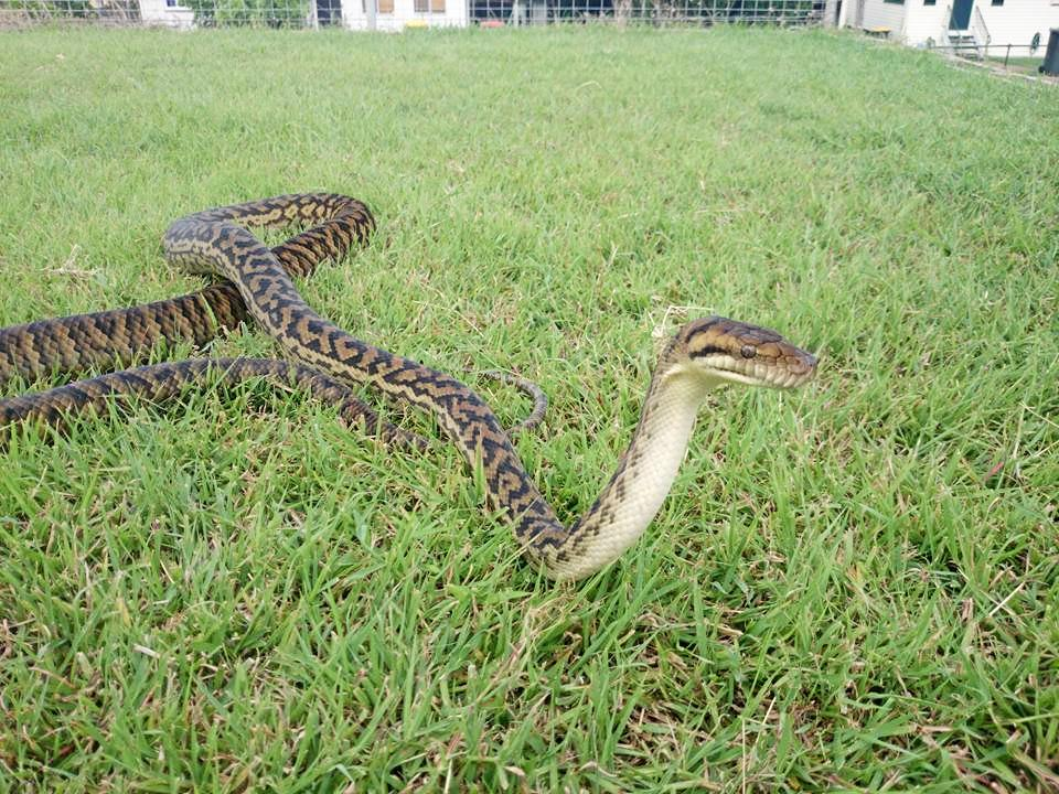 Pictured is a male scrub python.