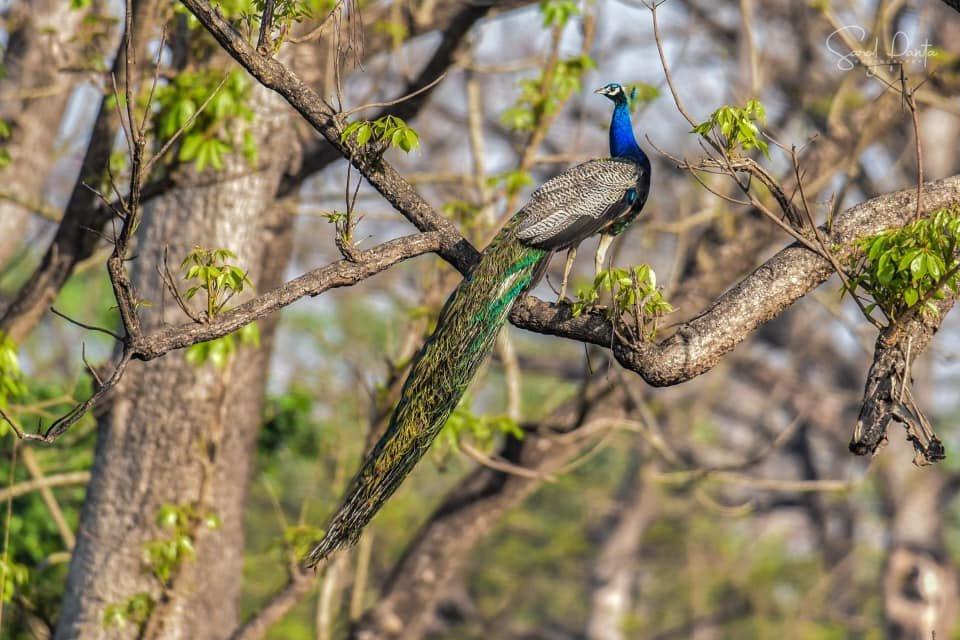 WINNING SHOT: Saroj Panta's photograph of a peacock at Royal Chitwan National Park at Nepal.