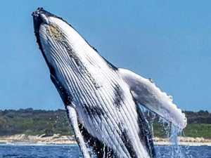 Early arrival of humpback whales hints at busiest season yet
