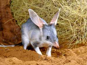 Why you need to choose a bilby over a bunny this Easter