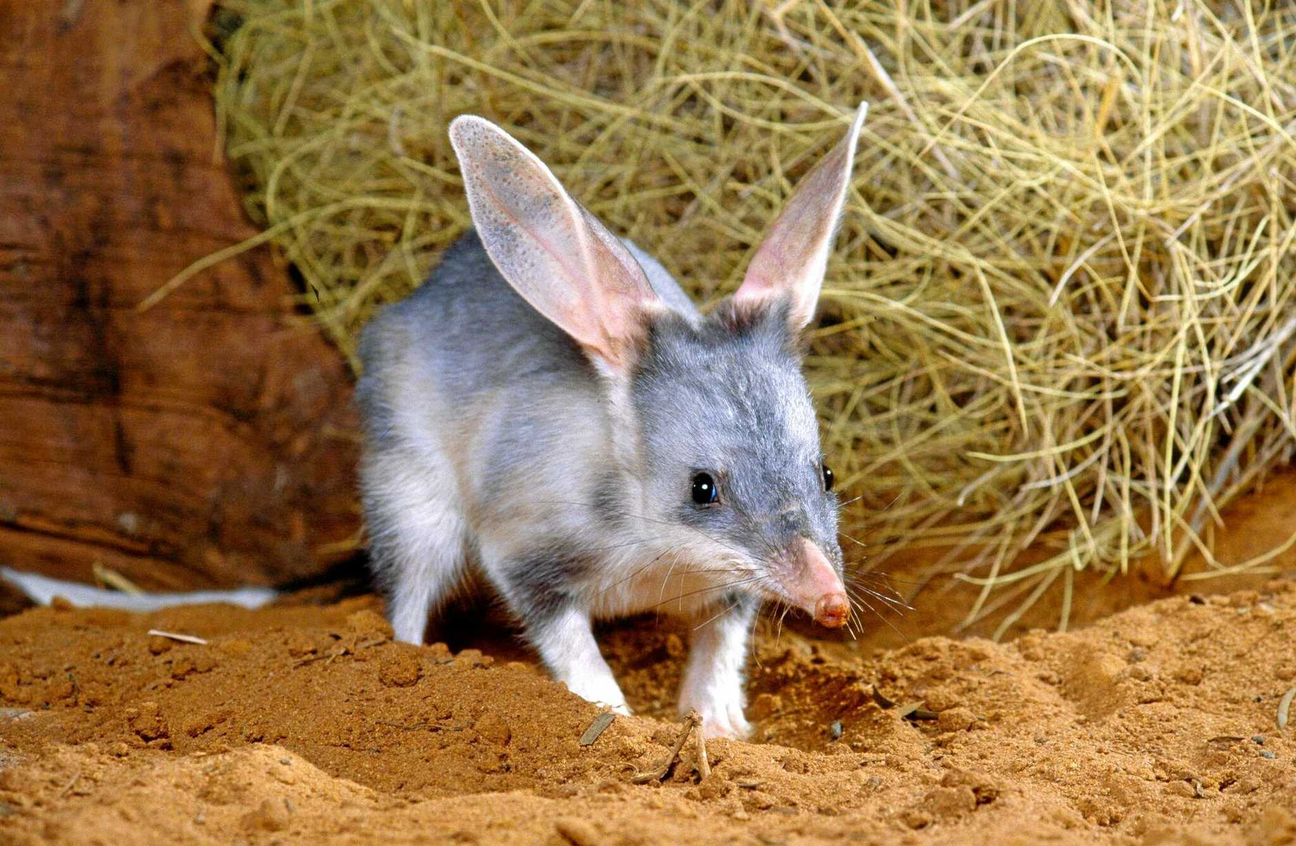 Buy a chocolate Bilby instead of a bunny, which will support the campaigns to ensure the bilbies survival for the future.