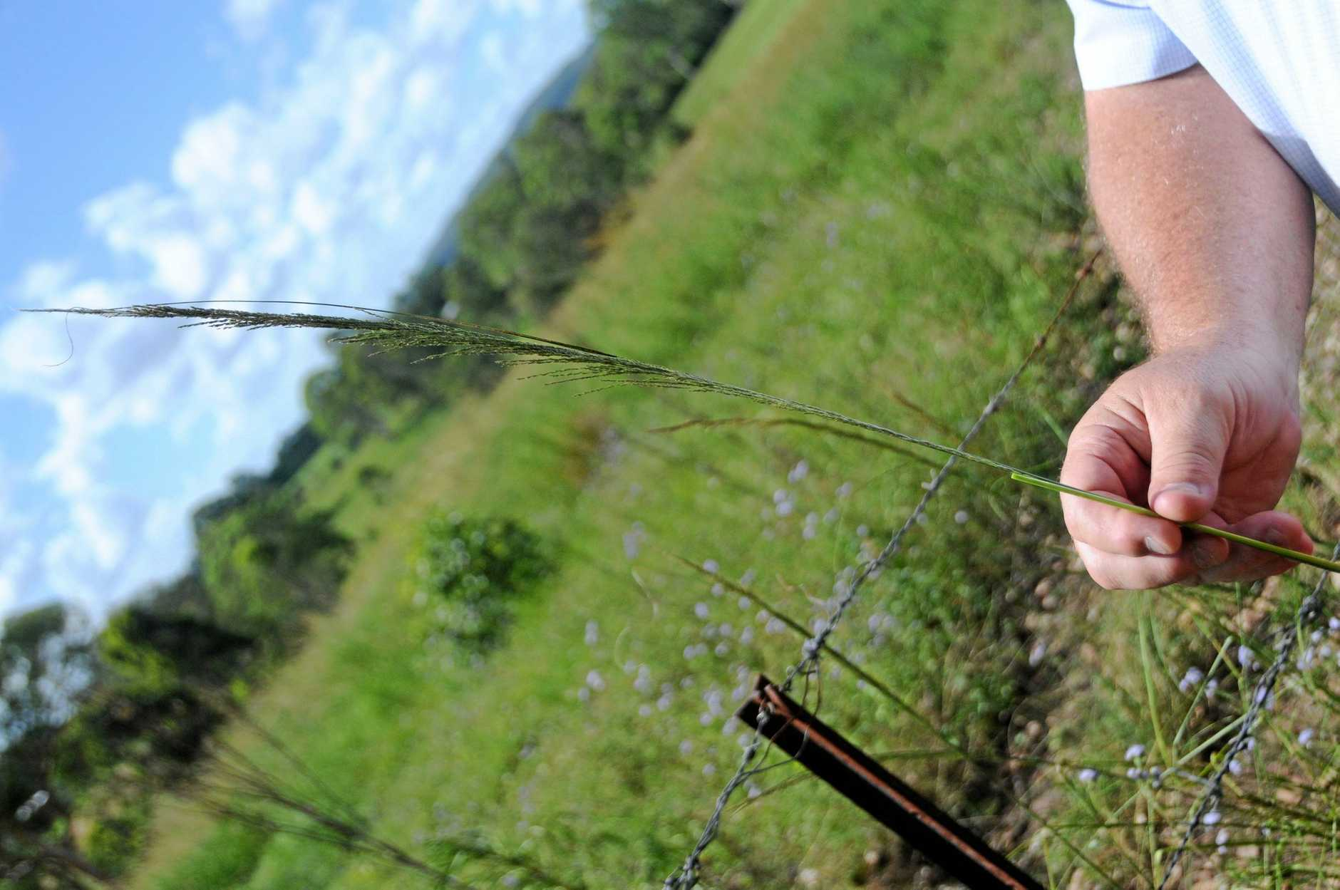 FARM PEST: Giants Rats Tail Grass affects almost every landholder in the Gympie region. The State Government has decided to reinstate an inquiry into invasive weeds.