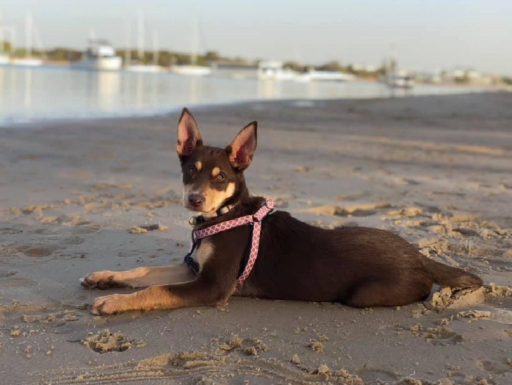 Rosie the 10-month-old Kelpie has been missing from her Upper Brookside home since March 22. She was dubbed the Ekka proposal puppy after she was used in a public wedding proposal in 2018. Picture: Fiona Bazley Hodges/Facebook