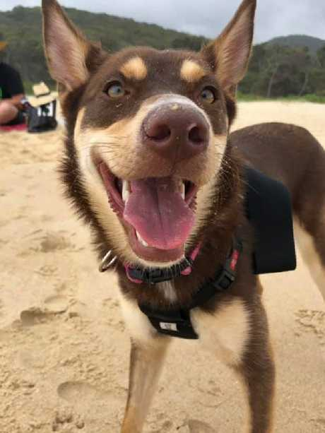 The Ekka proposal puppy. Rosie the kelpie. Rosie has been missing from Upper Brookfield since March 22, 2019. Picture: Fiona Bazley Hodges/Facebook.