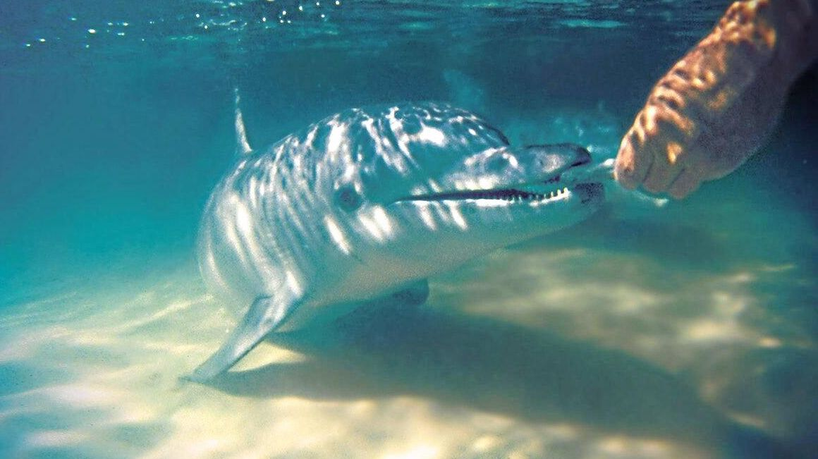 NATURAL BEAUTY: Wild dolphin feeding off Tangalooma Island Resort on Moreton Island.